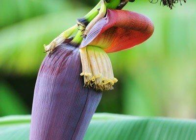 hoa chuối