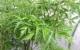 Tác dụng của cây đinh lăng, cây đinh lăng chữa bệnh