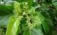 Tìm hiểu tác dụng của cây lá cách trong điều trị bệnh tật con người
