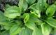 Tìm hiểu tác dụng của cây mã đề giải nhiệt, lợi tiểu tốt cho sức khỏe