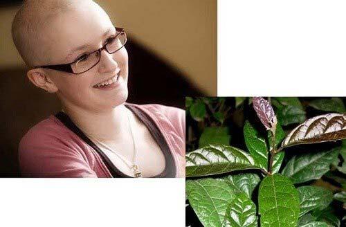 cây xạ đen hỗ trợ điều trị bệnh ung thư