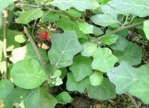 tác dụng cây cà cưởng điều trị bệnh viêm gan