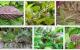 Những tác dụng của cây lá mơ lông đối với sức khỏe bạn nên biết