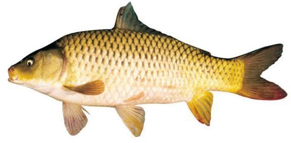 Cá chép giúp trẻ thông minh hơn