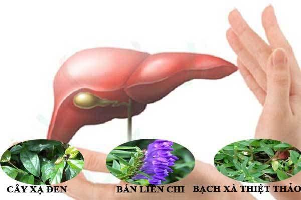 Bài thuốc chữa viêm gan từ cây xạ đen và các loại thảo dược
