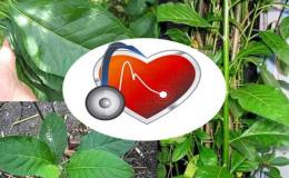 Điều trị cao huyết áp bằng cây mật gấu có hiệu quả không?