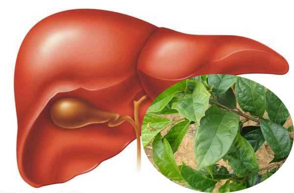 Hỗ trợ, điều trị bệnh gan bằng cây xạ đen