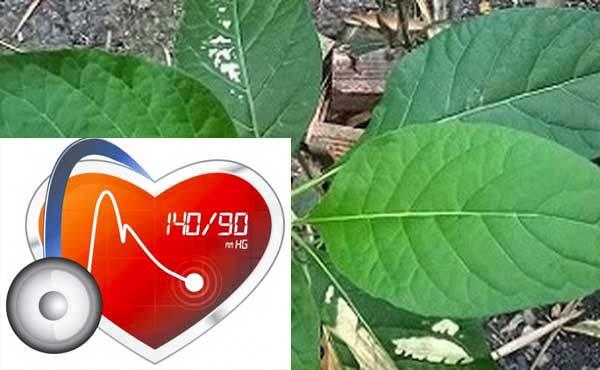 Lạm dụng lá cây mật gấu làm ảnh hưởng đến huyết áp