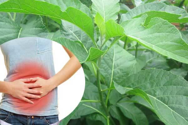 Lạm dụng lá mật gấu gây ảnh hưởng đến đường ruột