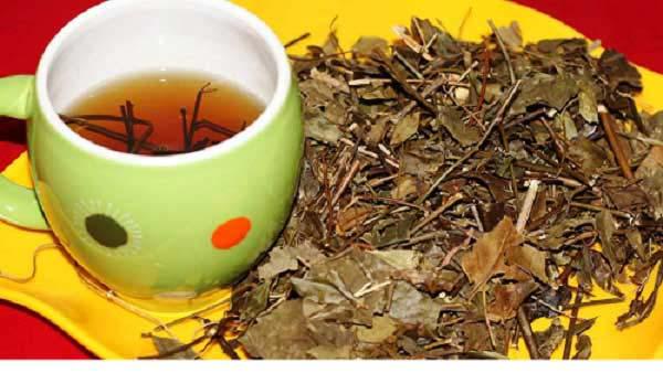 Uống trà từ lá cây mật gấu phơi khô