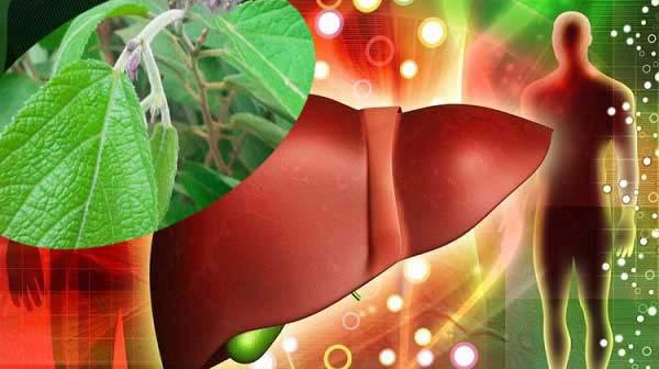 Tác dụng của cây an xoa đối với bệnh nhân gan