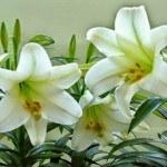 Làm thế nào để chọn và giữ hoa ly tươi lâu trong dịp Tết Nguyên Đán
