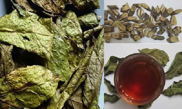Bài thuốc kết hợp giữa thân và lá cây xạ đen