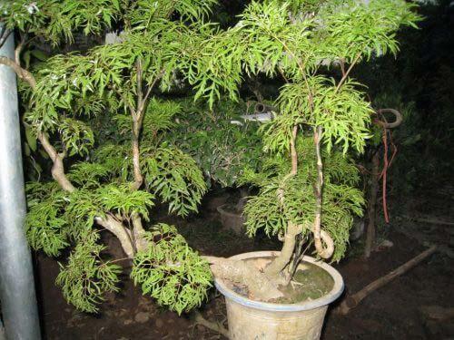 tác dụng của cây đinh lăng
